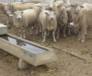 Sheep & Goat troughs