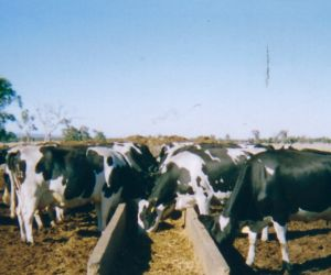 Two sided dairy feed troughs